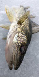 Guided Ice Fishing Michigan Walleye